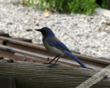 The little jay who came to visit