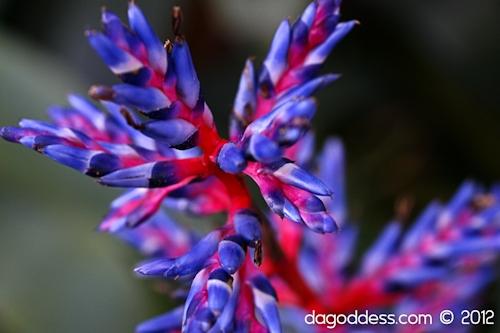 Bromeliad - aechmea blue tango