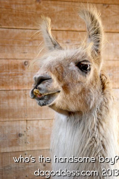 my llama friend