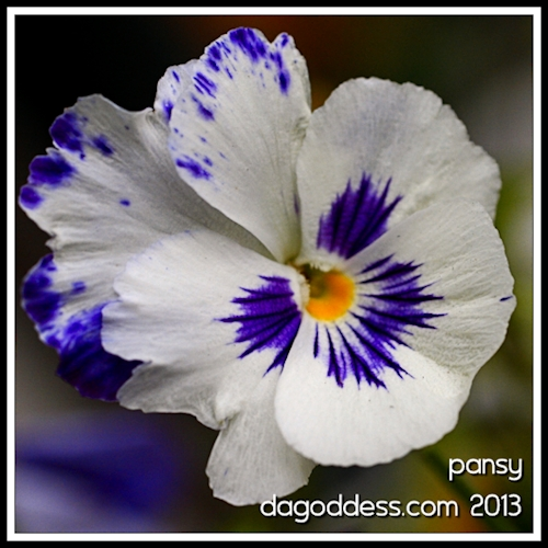 What a pansy