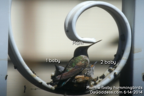baby hummingbirds with their mom